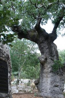 עץ האלון עם הגזע הרחב בישראל