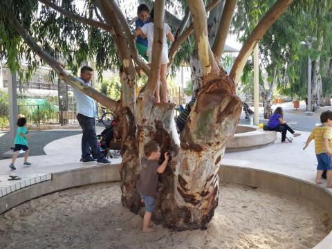 עץ אקליפטוס עתיק בגן קרית ספר