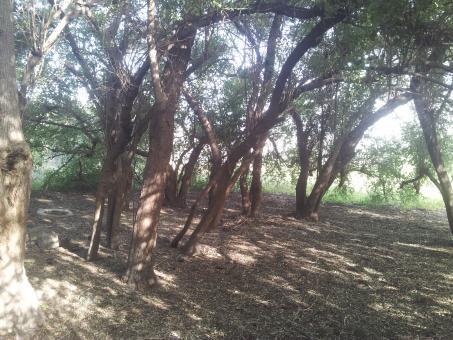 עצי השיזף בעין רוויה