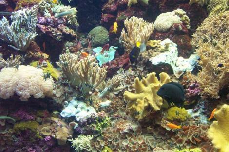 אלמוגים בשמורת האלמוגים באילת