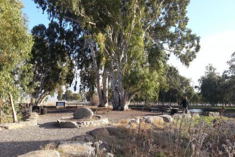 בג'וריה- שלולית חורף ענקית, עצי איקליפטוס ענקיים