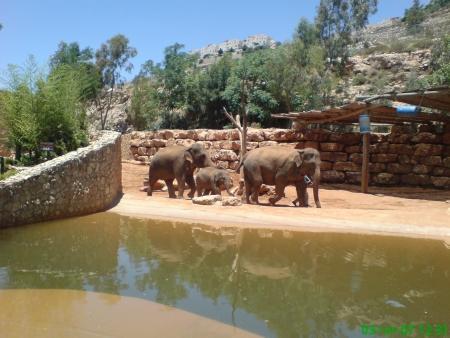 פילים אסיאתים בגן החיות במלחה
