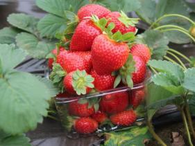חוות שדות - תותים וכלניות בקטיף עצמי