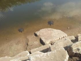 צבים בנחל אלכסנדר