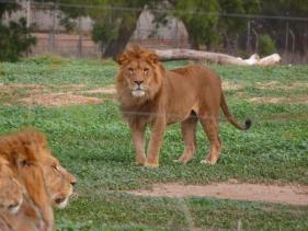 אריה מבסוט בספארי ברמת גן